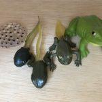 モンテッソーリ文化教育:カエルの生態系絵カード合わせ